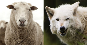 sheepwolves