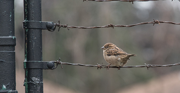 Sparrow sitting on a barbed wire