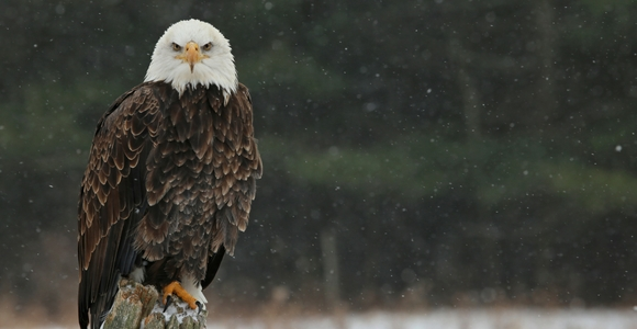 An eagle sitting on a post in winter