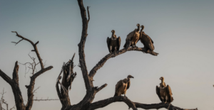 vultures sitting on trees
